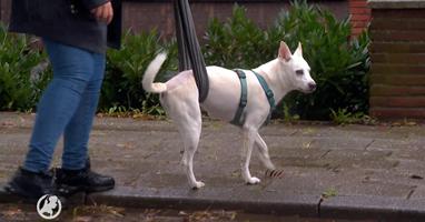 Afbeelding Hond Ecko kan weer lopen dankzij rolstoel