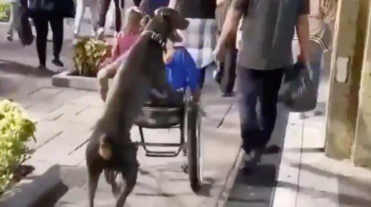 Behulpzame hond duwt rolstoel afbeelding nieuwsbericht