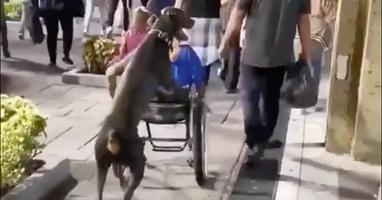 Afbeelding Behulpzame hond duwt rolstoel